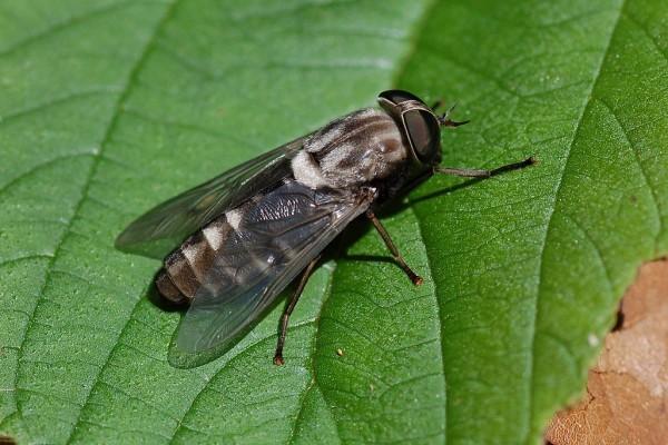 Diptera_Tabanidae_Horsefly
