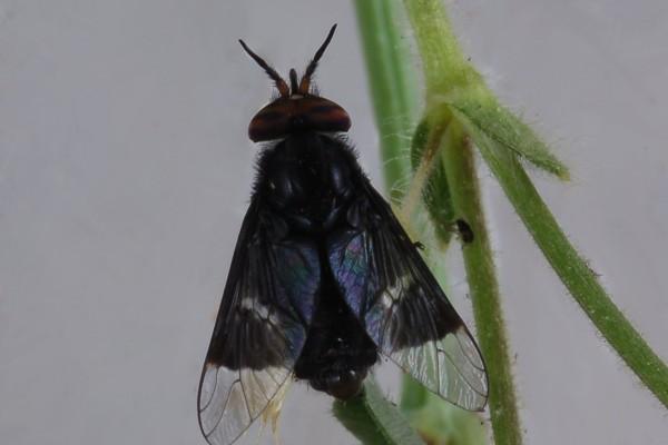 Diptera_Tabanidae_Deer fly