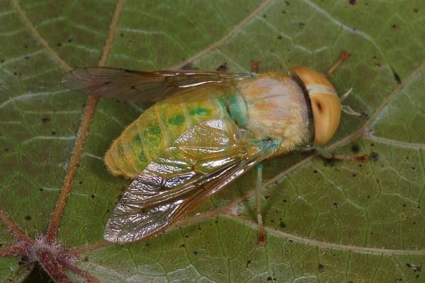 Diptera_Tabanidae_Green Horsefly