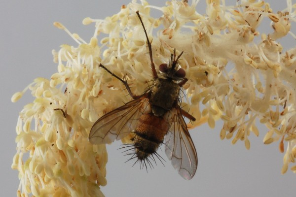 Diptera_Tachinidae_Tachinid fly