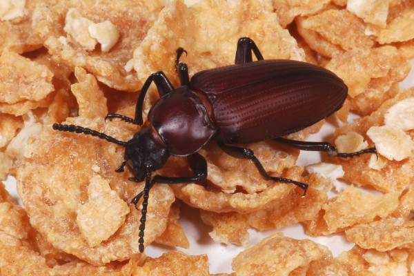 Coleoptera_Tenebrionidae_Darkling beetle