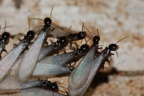 Isoptera_Rhinotermitidae_Winged termite swarm
