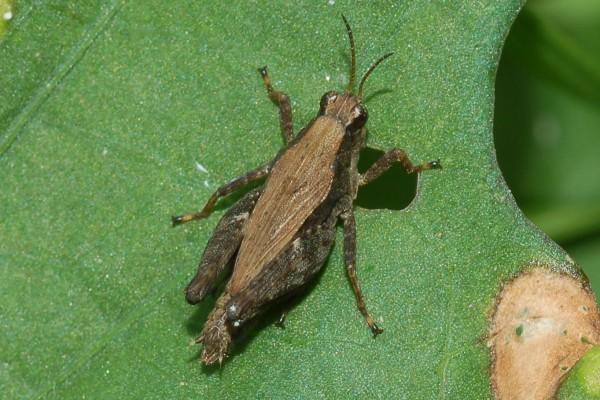 Orthoptera_Tetrigidae_Pygmy Grasshopper