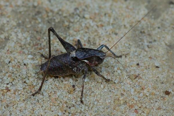Orthoptera_Tettigoniidae_Eastern shieldback katydid