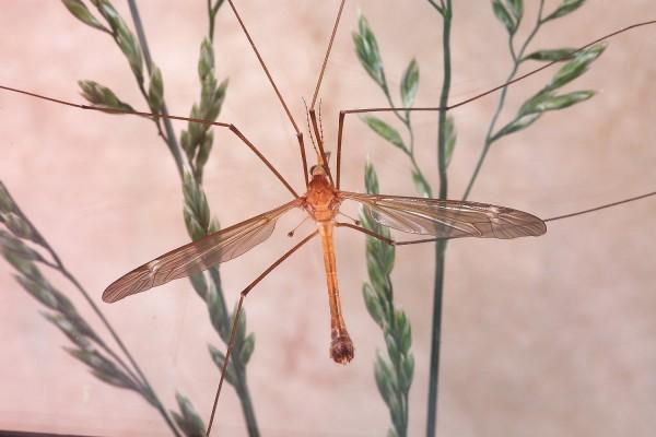 Diptera_Tipulidae_Crane fly