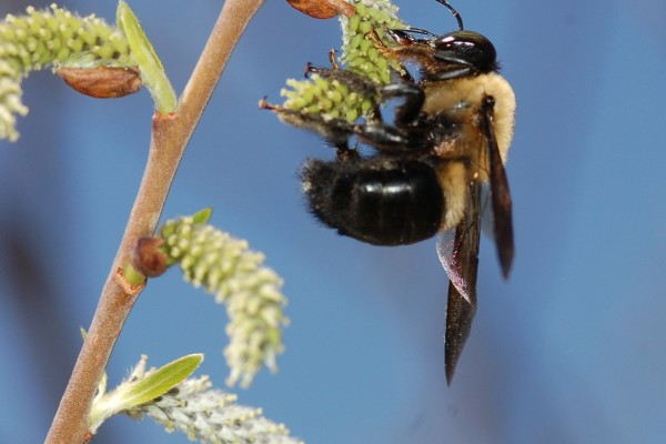 Hymenoptera_Apidae_Eastern carpenter bee