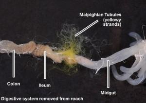 lab_internal_roach_guts_08_malpighian