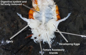lab_internal_roach_guts_10_female_reproductive