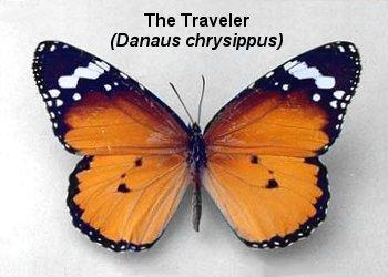 id_danaidae_chrysippus