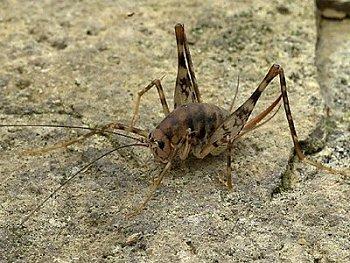 id_ gryllacrididae_gryllacrid02