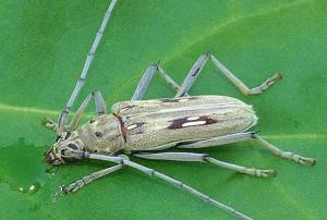 id_coleoptera_01a_crop