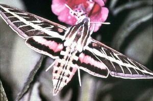 id_lepidoptera_lepidop01a