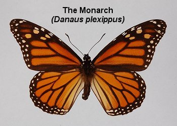 id_danaidae_monarch0148s