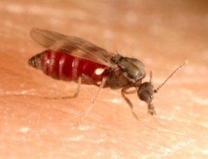 ceratopogonid01