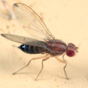 drosophilid01