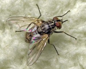 stablefly