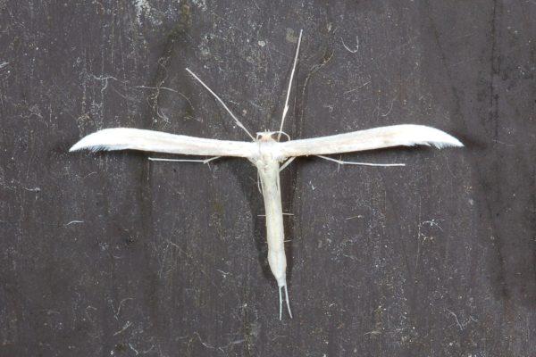 plume_moth0035