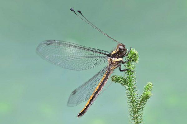 owlfly01
